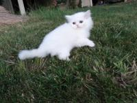 These 2 Persian Male & & Female kittens, are all set to