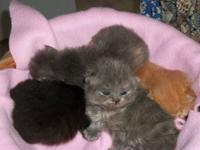 PERSIAN KITTENS FOR SALE CFA registered.WE HAVE 5 TO