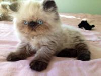 I have two beautiful CFA registered Persian Himalayan
