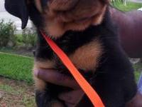 Beautiful German Rottweiler Puppies for Sale! Big Heads