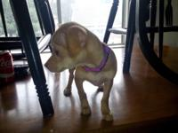 I have a beautiful tan female Chihuahua. She is 11