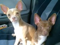 I have to chihuahuas one male and brown female, mom and