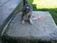 APRI registered Chihuahua female baby is dark blue in