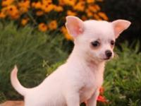 Beautiful Chihuahua puppies for sale For more