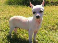 beautiful chihuahua puppy looking for a new fore ever