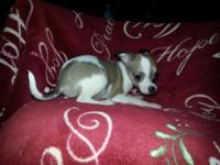 Beautiful Chihuahua Puppy's Looking For Loving Home,