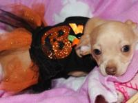 Stunning Chihuahua pups born 8/28/14. 2 ladies readily