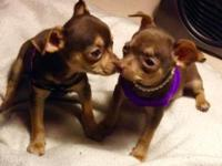 Beautiful Female Chihuahua's looking for a good home. 7