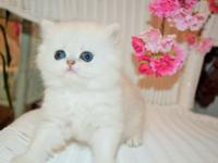 We have avail., Gorgeous, Chinchilla Silver Persian