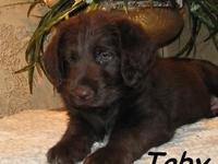 We have some lovable chocolate labradoodles. They are