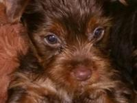 I have 2 beautiful Chocolate yorkie males. They are 8
