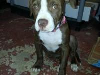 Rehoming pick of Litter 3 month old female chocolate