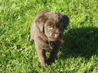 Beautiful Chocolate English Labrador Retriever Puppies
