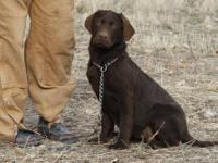 These are BEAUTIFUL, excellent pedigreed Chocolate Lab