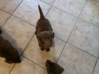 We have 3 beautiful chocolate lab puppies that are