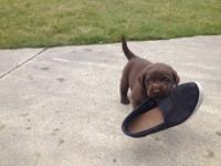 Labrador puppies for sale- males & females, have had