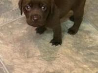 I have a litter of 8 adorable Chocolate Labrador