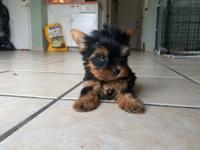 AKC, Yorkshire Terriers, Teacup size, current on their