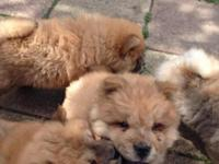 Beautiful Chow Chow Puppies, raised in our home with