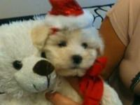 Adorable cotton soft bubbly, pure-bred Maltese terrier