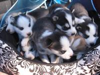 WE HAVE 4 GORGEUS SIBERIAN HUSKY PUPPIES. WE HAVE