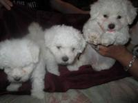 I Have 2 males and 1 Female, They are gorgeous puppies,