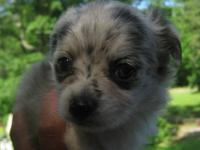 BEAUTIFUL MALE RARE BLUE AND TAN MERLE CHIHUAHUA...CKC