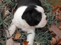 CKC Boston Terrier Puppies are increased in my home
