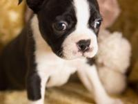 Lil Moses is a gorgeous little CKC Boston Terrier