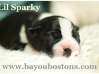 Lil Sparky is a beautiful CKC Boston Terrier child