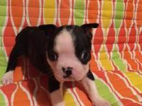 Beautiful CKC registered Boston terriers. They were