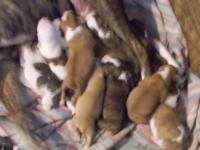 Beautiful Boxer Puppies for sale in the next 30 days.