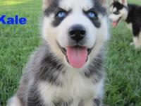 Beautiful Purebred Siberian Husky Puppies for sale!!!