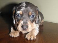 I have only one Miniature dachshund puppy left. She is