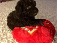 BEAUTIFUL CKC POODLE, SHE HAS 6 WEEKS OLD. DARK BROWN