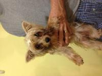 We have a beautiful silver female yorkie. She is 9