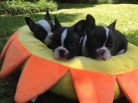 Beautiful Frenchton puppies for sale!AKC registered!