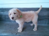 Bailey is a beautiful, 6 week old Labradoodle puppy.