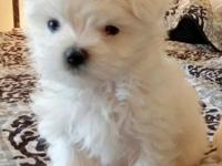 2 Males and 1Female Maltese pups, all 3 playful,