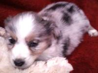Beautiful CKC Registered Miniature Australian Shepherd