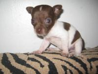 BEAUTIFUL CKC FEMALE CHIHUAHUA BLUE MERLE POSSIBLY BLUE