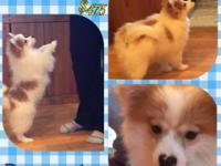 DEPOSIT PENDING!! Yay Reduced to $425 CKC Pomeranian