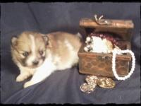 Tiny parti Pom pups available to loving homes. Sire 3.5