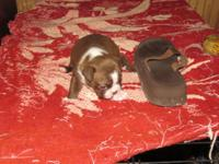 2 week aged Beautiful Boston Terrier women red and