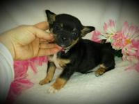 * LUCKY DUCKY * Black and tan female chihuahua puppy