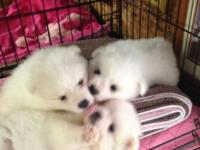 CKC Registered American Eskimo pup's. Beautiful snow