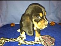 This little guy is a full blooded CKC Registered basset