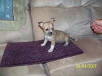Two beautiful registered female chihuahua puppies, one