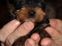 I have a really lovely women teacup yorkie. She is 9