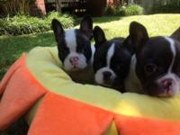 Beautiful CKC Registered Frenchton Puppies! Three